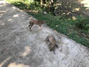 Собаки на Шри Ланке